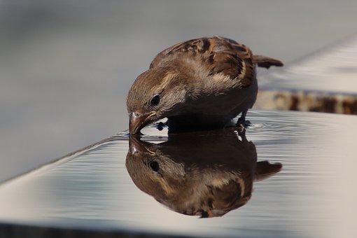 Sparrow, Sperling, House Sparrow, Bird, Close Up
