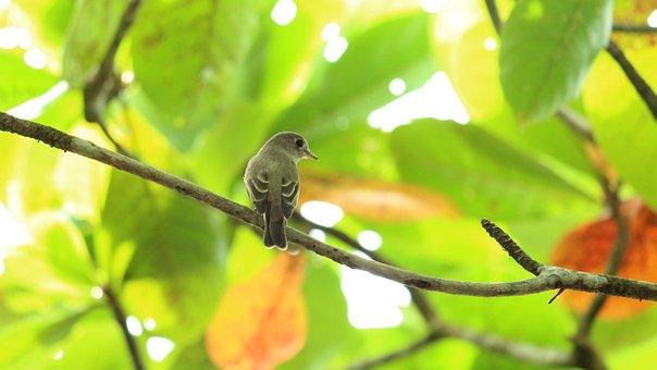 Bird, Avian, Flycatcher, Sitting, Cute, Small, Grey