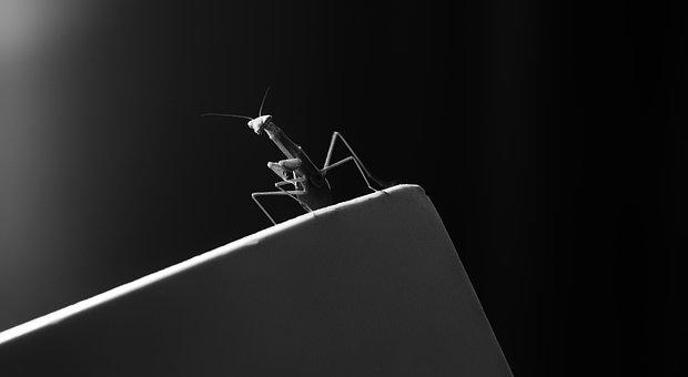 Praying Mantis, Mantis, Bug, Insect, Black And White