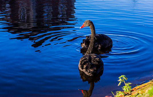 Swans, Black, Waterfowl, Lake, Plumage, Black Swans