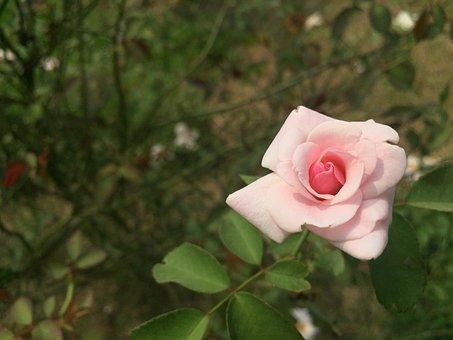 Rose, Flower, Roses, Bloom, Bouquet, Love, Romantic