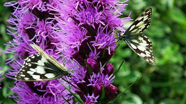 Butterflies, Insects, Flowers, Latria Kłosowa, Nature