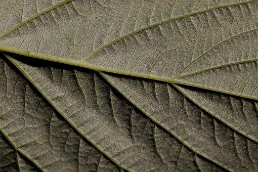 Raspberry Leaf, Raspberry, Leaf, Bottom, Close Up