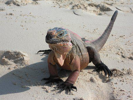 Iguana, Lizard, Dragon, Reptile, Creature, Exotic