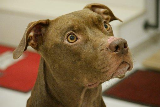 Dog, Pitbull, Animal, Pet, Race, Cute, Portrait, Mammal