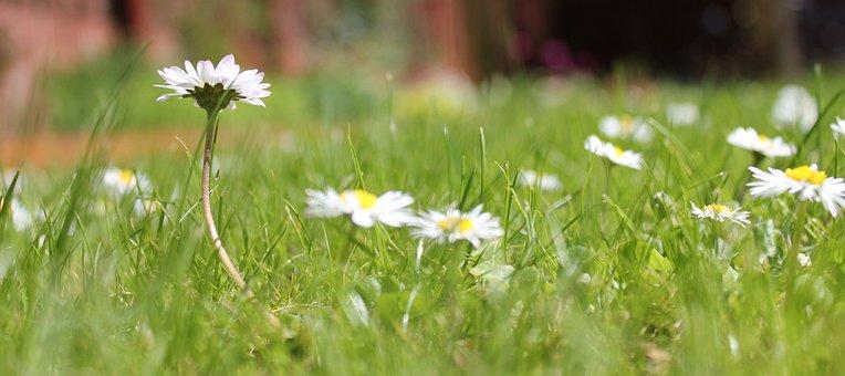 Daisy, Grass, Garden, Spring, Nature, Flowers, Meadow