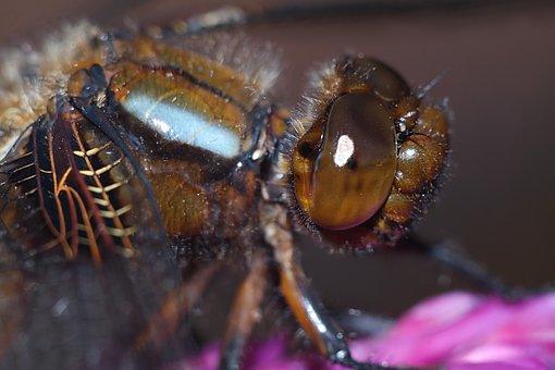 Ważka, Insect, Macro, Nature, Dragonflies