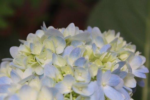 Flowers, Blue, Green, Flower, Plant, Flora, Garden