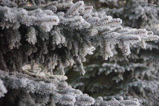 Winter, Frost, Spruce, Christmas Tree, Landscape