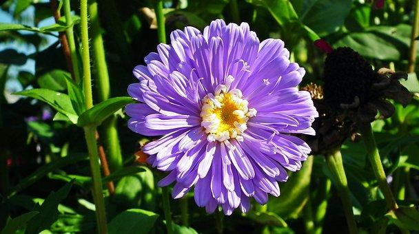 Flower, Zinnia, Blue, Garden, Nature, Macro, Summer