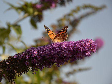Garden, Butterfly, Butterfly Bush, Summer Lilac, Insect