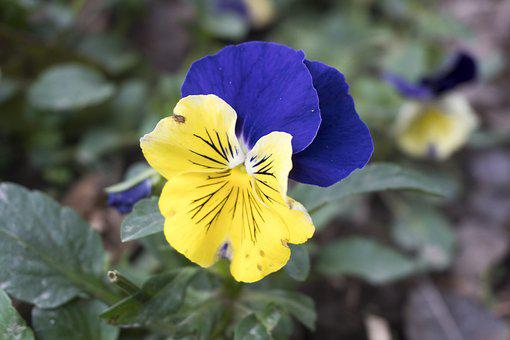 Flower, Nature, Pansy, Garden, Yellow, Spring, Purple