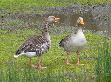 Goose, Geese, Chat, Nag, Birds, Waterfowl, Animals