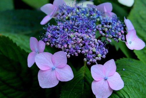 Hydrangea, Intense Blue, Flowers, Sierheester, Garden