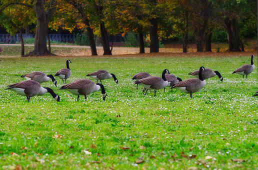 Canada Goose, Meadow, Daisy, Food, Eat, Poultry, Goose