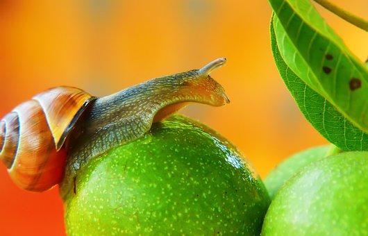 Wstężyk Huntsman, Molluscum, Mood, Fruit, Leaf, Model