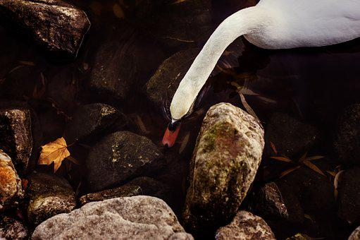 Swan, Water Bird, White, Mute Swan, Plumage, Waters