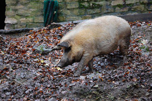 Pig, Boar, Piglet, Nature, Sow, Bristles