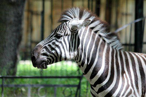 Zebra, Animal, Equine, Zoo, Head, Stripes, Nature