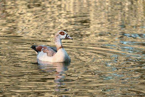 Nilgans, Water Bird, Alopochen, Goose, Animal, Nature