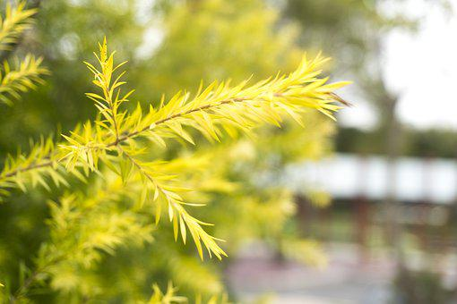 Tree, Green, Branch, Nature, Pine, Plant, Fir