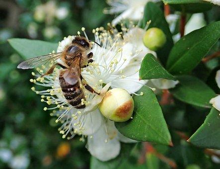 Bee, Insect, Myrtle, Flower, Pollen, Garden, Nature
