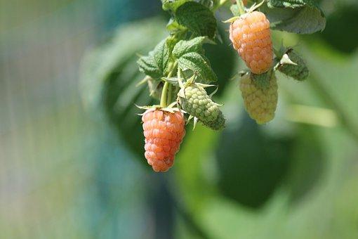Raspberry, Yellow Raspberry, Plant, Bush, Fruit, Yellow