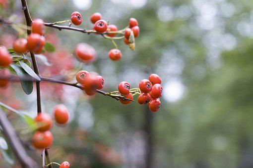 Red, Berry, Berries, Fruit, Tree, Nature, Green, Plant
