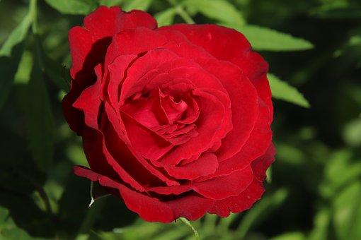 Rose, Red, Flower, Nature, Plant, Petal