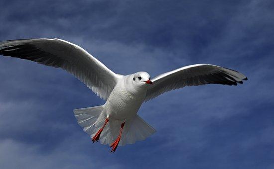Seagull, Bird, Flying, Nature, Water Bird, Sea Birds
