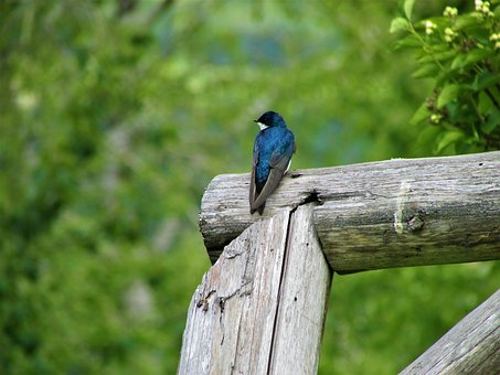 Tree Swallow, Swallow, Tree, Post, Fence, Bird, Blue