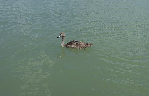 Swan, Bird, Launchy, Plumage, Elegant, Swim, Lake