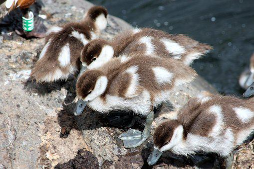 Ogar, Chicks, Tadorna Ferruginea, Duck, Waterfowl