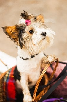 Dog, Terrier, Cute, Animals, Puppy, Breed, Each, Young