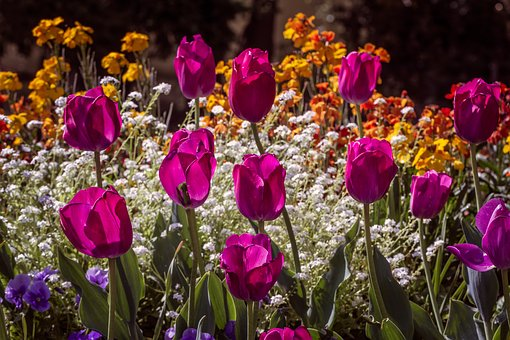 Flowers, Tulips, Nature, Red, Gardens, Colorful, Color