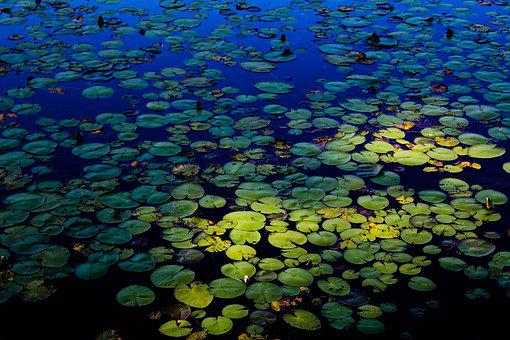 Lily Pad, Green, Blue, Pond, Water, Summer, Nature