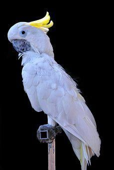 Cacatua Alba, Cacatoes, White, Pen, Bird, Beak, Exotic