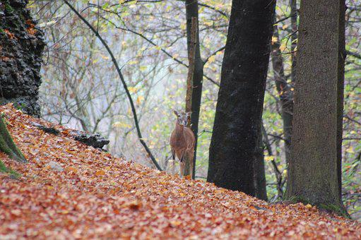 Roe Deer, Red Deer, Wild, Forest, Wild Animal, Scheu