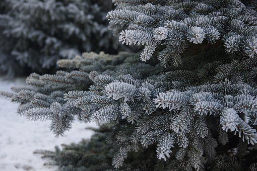 Winter, Frost, Spruce, Christmas Tree