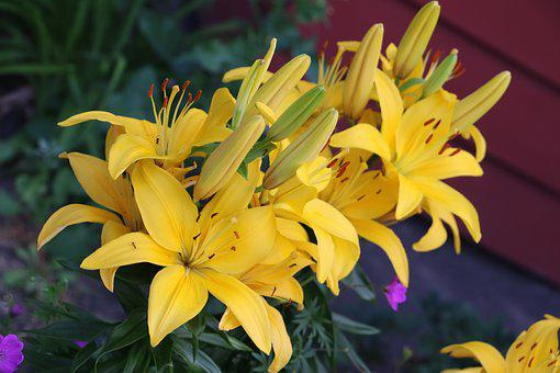 Lilly, Yellow, Flowers, Lilies, Bloom, Nature, Garden