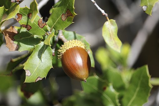 Acorn, Tree, Leaves, Nature, Fruit, Branches, Autumn