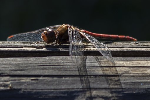 Dragonfly, Animal, Insect, Nature, Ali