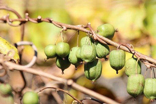 Actinidia Kolomikta, Actinidia, Kiwi, Green, Autumn