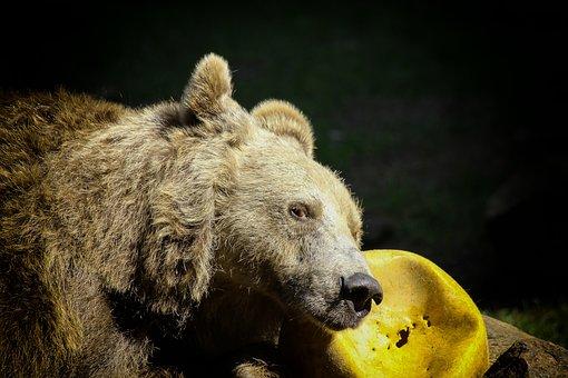 Bear, Brown Bear, Zoo, Ball, Yellow, Animal World, Fur