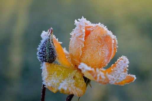 Rose, Yellow, Frost, Eiskristalle, Icy, Winter, Blossom