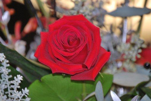 Rose, Flower, Red, Red Rose, Nature, Bloom, Blossom