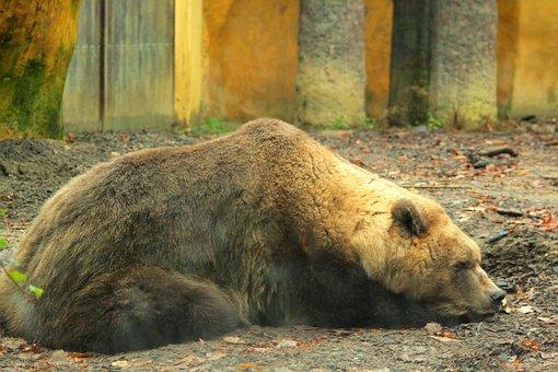 Brown Bear, Zoo, Predator, Hairy, Muzzle, Ursus