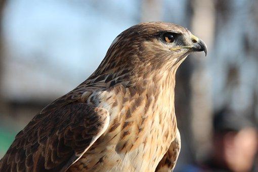 Buzzard, Bird, Bird Of Prey, Buteo Rufinus