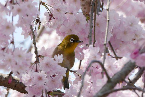 Bird, Japanese White-eye, Cheery-blossom, Spring, Kyoto