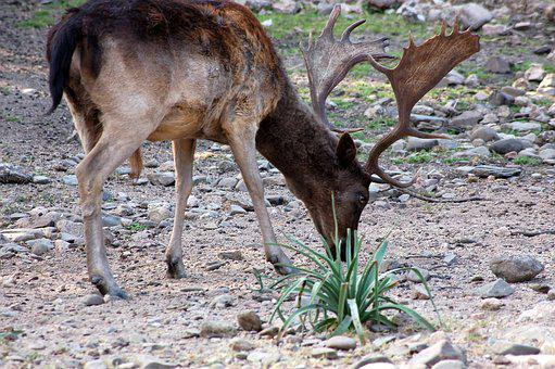 Deer, Nature, Animal, Wild, Horns, Sardinian Deer